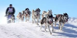 chiens de traineaux